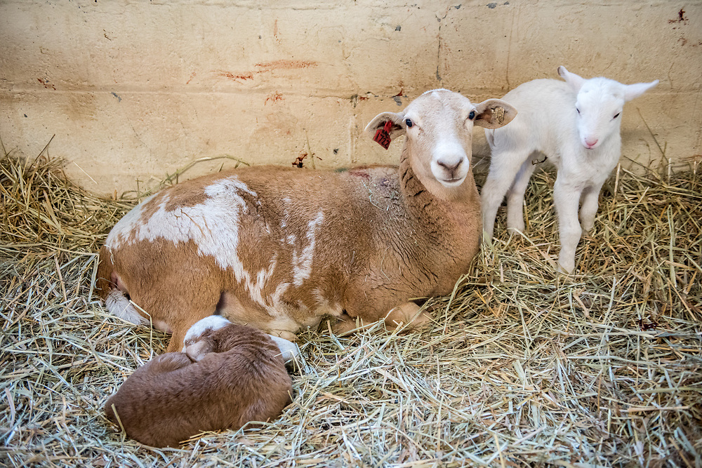 A ewe lays in hay with her two newborn lambs staying close by, College Park, Maryland