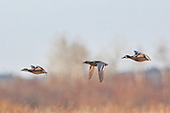 A male Garganey (center) usually found in Europe and western Asia, makes a rare visit to North America at Crex Meadows State Wildlife Area near Grantsburg, Wisconsin where it flies with  native Blue-winged teal. This is the first reported instance of the species in the state.
