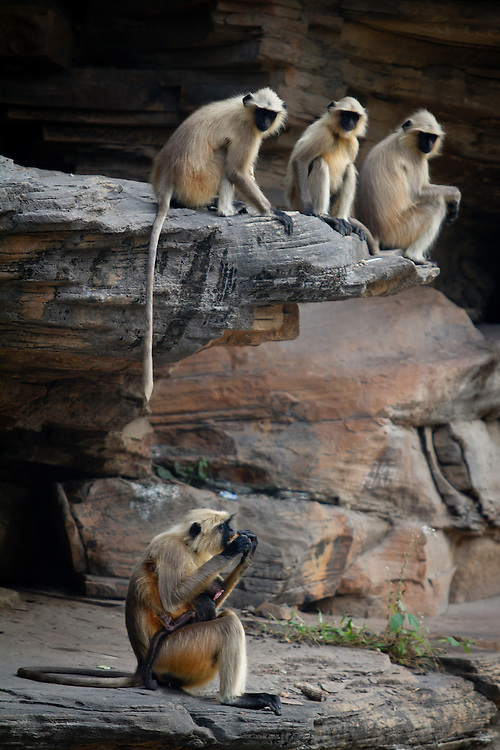 A group of gray langur's watch enviously as a mother and her baby eat a potato left by picnicers at the Lakhaniya Dari waterfall near Varanasi, India.