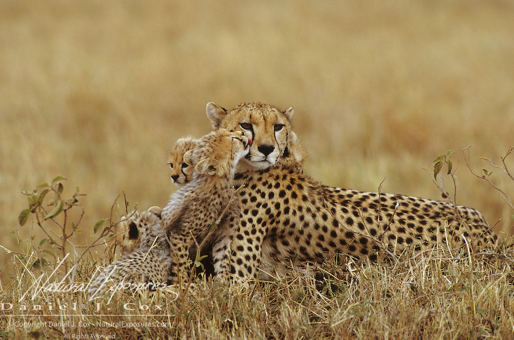 Cheetah mother and cubs resting on the plains of Masai Mara National Reserve. Africa