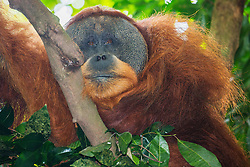 A close-up front-view portrait of a critically endangered dominant wild male Sumatran orangutan (Pongo abelii) with developed cheek flanges resting in the cool shade of the forest, Bukit Lawang, Sumatra, Indonesia