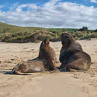 """A couple of New Zealand sea lions sitting on the beach of Surat Bay in the Catlins. The sea lions are not dangerous, but people should take care when approaching them to close. According to """"Wikipedia"""" - The New Zealand sea lion is probably the world's rarest sea lion and numbers around 10,000."""