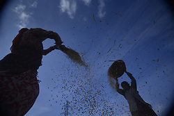 November 3, 2018 - Kathmandu, NP, Nepal - Nepalese woman separates rice grains from grains and the glumes, or husks using a traditional winnowing method at outskirts of Kathmandu, Nepal on Saturday, November 03, 2018. Agriculture remains as important economic activity for the landlocked country, with wheat and rice being the main food crops. (Credit Image: © Narayan Maharjan/NurPhoto via ZUMA Press)