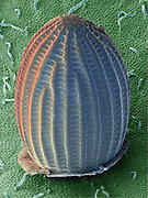 SEM a Monarch Butterfly Egg (Danaus plexippus). aid on the underside of a common milkweed leaf (Asclepias syriaca). The milkweed plant serves as the primary food source for monarch butterflies as well as a host for the monarch's eggs and larvae. This images was collected at 50x and represents a field of view .5mm wide.