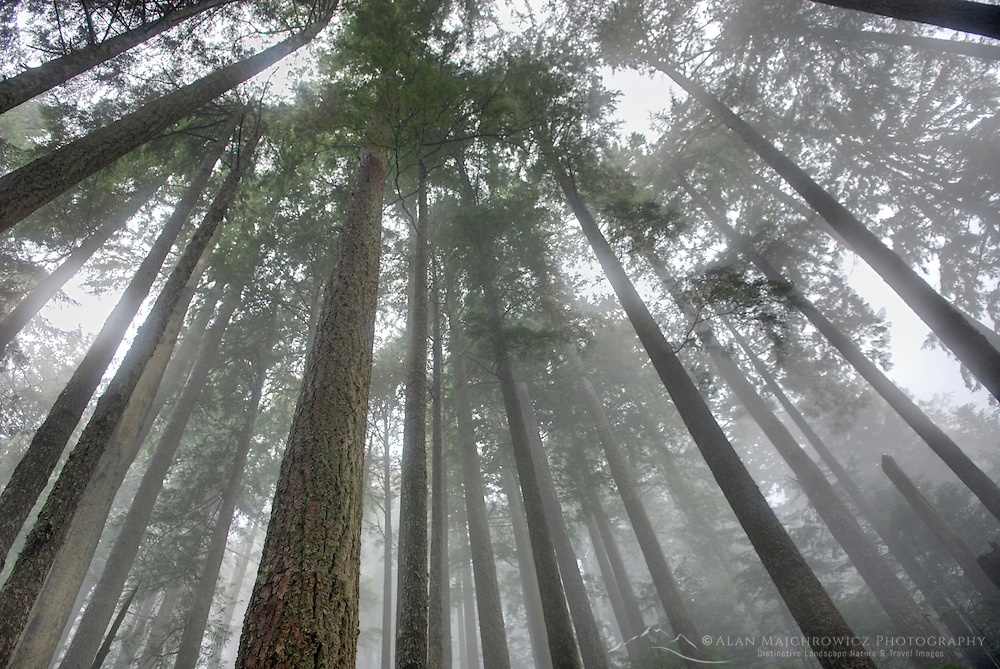 Upwards view to canopy of old growth forest, Mount Baker Snoqualmie National Forest Washington USA