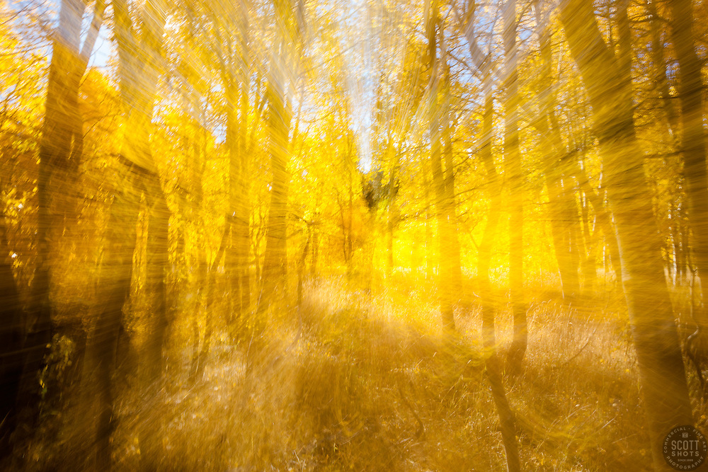 """Aspen at Fredrick's Meadow 6"" - Photograph of yellow aspen trees in the fall at Fredrick's Meadow near Fallen Leaf Lake, California. The abstract effect was achieved by intentionally zooming the lens while handholding the camera during a long exposure."