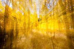 """""""Aspen at Fredrick's Meadow 6"""" - Photograph of yellow aspen trees in the fall at Fredrick's Meadow near Fallen Leaf Lake, California. The abstract effect was achieved by intentionally zooming the lens while handholding the camera during a long exposure."""