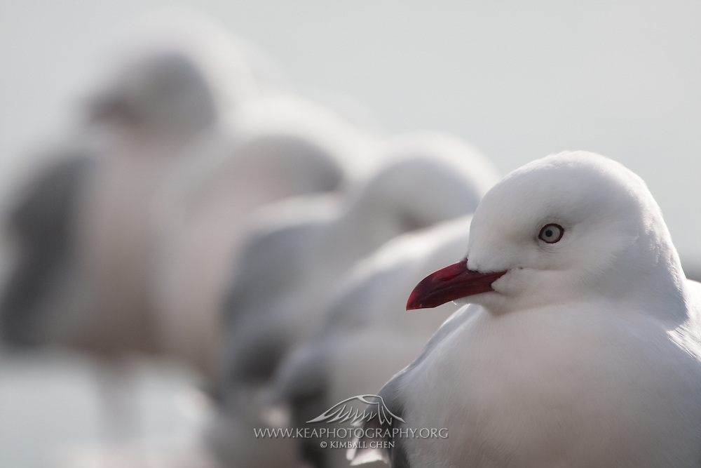 Red-billed Gulls, Otago Peninsula, New Zealand