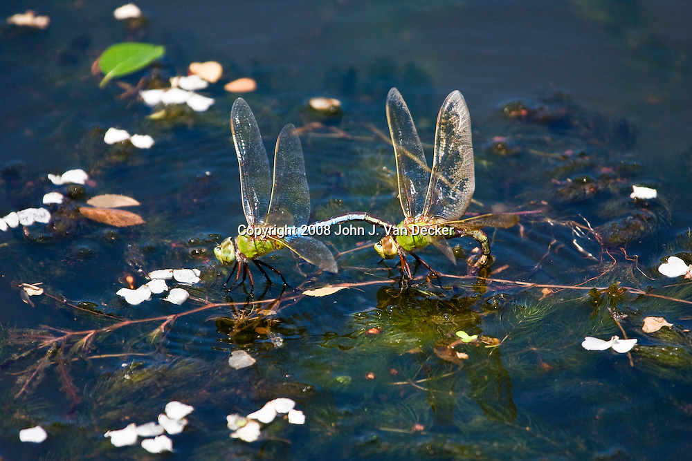 Green Darner dragonflies, Anax junius, in tandem with female laying eggs below waterline.....The male clasps the female behind her head and the two form a wheel while mating. The male, in this case, has remained in tandem with the female while she lays her eggs.