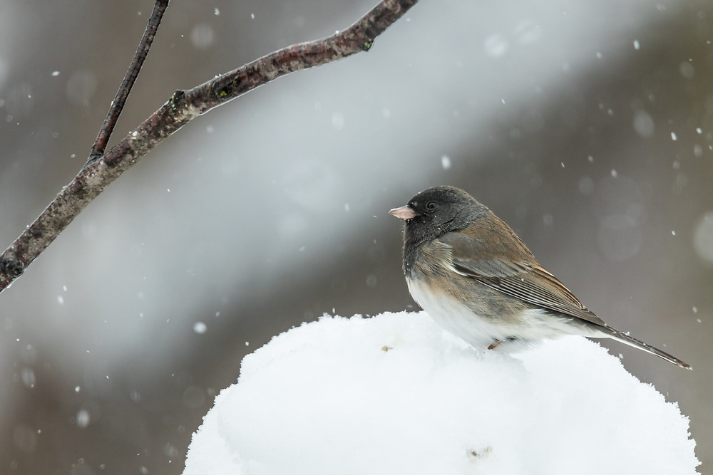 Snow falls on a Junco in Wisconsin