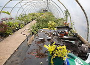 Plants growing inside a poly-tunnel in a garden centre, Swanns nursery, Bromeswell, Suffolk, England