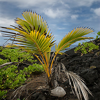 Baby palm tree growing on the lava in Hana, Maui.