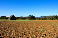 Newly planted field with barn in Punta de La Sierra, Pinar del Rio, Cuba.