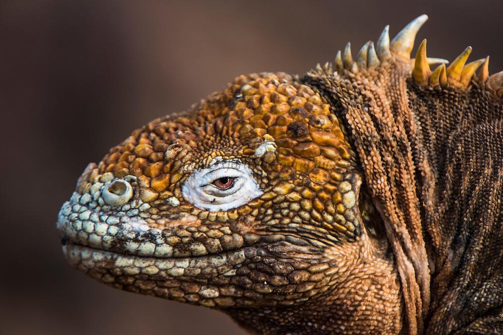 Galapagos Land Iguana(Conolophus subcristatus)<br /> North Seymour Island<br /> GALAPAGOS ISLANDS,<br /> Ecuador, South America<br /> ENDEMIC