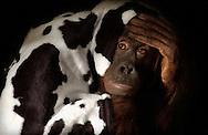 Deutschland, DEU, Krefeld, 2004: Projekt ueber die biologischen Wurzeln der Mode. Die Shootings hierfuer wurden mit Grossen Menschenaffen, die dem Menschen am naechsten sind, im Krefelder Zoo gemacht. Die Tiere waren weder zahm noch trainiert. Die Kleidungsstuecke wurden in die Gehege geworfen und was immer die Tiere damit anstellten, taten sie aus sich selbst heraus. Ein Eingreifen oder gar eine Regie war unmoeglich. Da das Verhalten der Affen im Mittelpunkt stand, wurden die Hintergruende von den Originalfotografien entfernt. Orang-Utan-Weibchen Sita eingehuellt in ein Kleidungsstueck mit Kuhmuster. | Germany, DEU, Krefeld, 2004: Project to look at the basics and roots of fashion. The shootings took place in the Zoo Krefeld with three species of Great Apes who are the nearest to us. The animals were neither tamed nor trained. Whatever the animals did, they did on their own. Any intervention or directing was impossible. To set the focus on the behaviour of the animals itself we removed the background from the original photographs. Orang Utan (Pongo pygmaeus) female Sita wrapped in a cloth patterned like a cow fur. |
