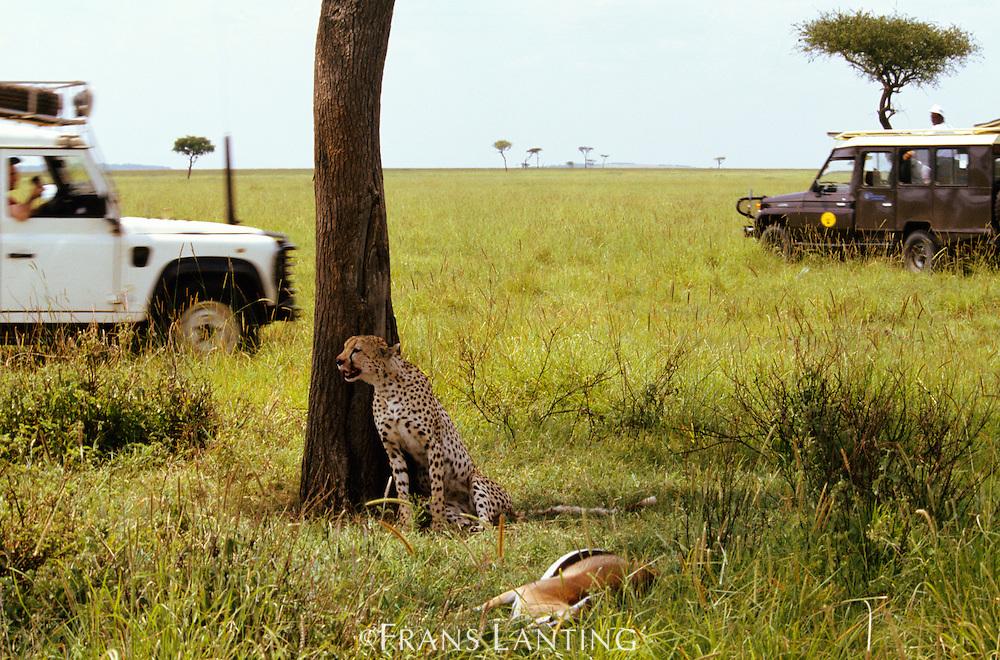 Cheetah on kill surrounded by safaris, Acinonyx jubatus, Masai Mara Reserve, Kenya