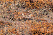 The antlers of a bull Alaskan moose stick up above the bramble on a slope during autumn in Denali National Park, McKinley Park, Alaska.