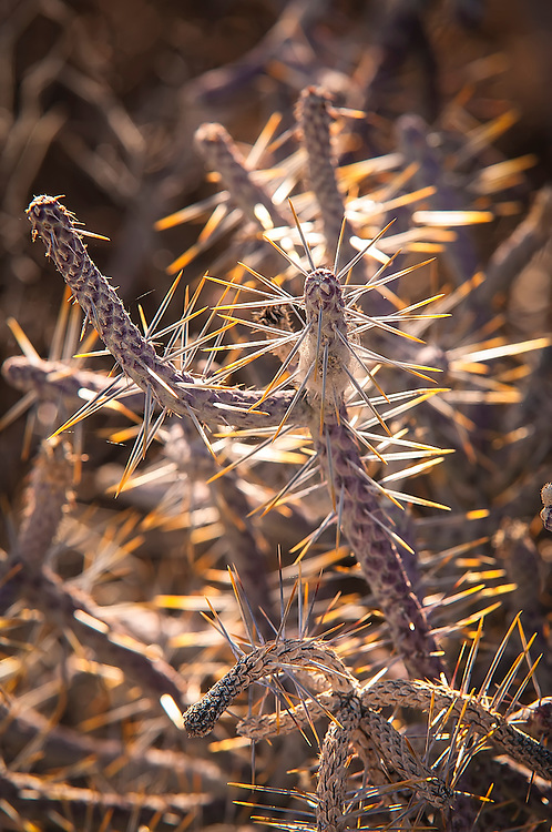 The pencil cholla is easily distinguished from other cholla cacti in the American Southwest by the scale-like arrangement on the stems that is often referred to as a diamond pattern. I thought the yellow coloration on the spines were beautiful, especially backlit like this here in the Mojave Desert in Southern California.