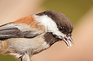 A chestnut-backed chickadee finishes eating seed, Belmont, CA