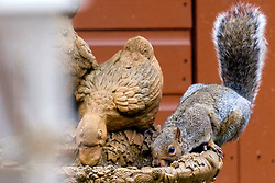 Ecclesfield Squirrel<br /> <br />  Copyright Paul David Drabble<br />  29 September 2019<br />  www.pauldaviddrabble.co.uk A Grey Squirrel (Scientific name Sciurus Carolinensison) Sits and drinks from Bird feeder in a British Suburban Garden