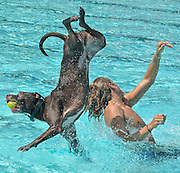 """ONE LAST DIP--Rusty and his owner, Laurel Municipal Pool lifeguard, """"Bubba"""" Mullins get a jump on the annual """"doggy dip"""" and get in some quality """"flight time"""" before the pool officially opens for the last swim of the season.  (winner, feature photo, 2011 Maryland-Delaware-D.C. Press Association.)"""