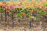 Quivira Cellars Vineyard Fall Colors, Healdsburg, California