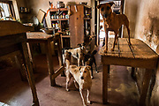 Several of nearly 170 rescued street dogs take over Eva Ruppel's kitchen on her rural property near Kandy, Sri Lanka, on Wednesday, February 21, 2018. Ruppel does not cage the approximate 170 dogs she has rescued, allowing them freedom to roam and interact in small packs in multiple pens throughout her property, as well as inside her home. Ruppel created Tikiri Trust, with the financial assistance of her father, to rescue and rehome Sri Lanka's street dogs.<br /> <br /> <br /> It is impossible to visit Sri Lanka without seeing street dogs in nearly every public space, near hotels, guest houses and restaurants, schools, offices, markets, hospitals, police stations, bus terminals, railway stations, temples, etc. These dogs do not have their own homes, but they are usually highly tolerated and are typically fed collectively by people in a particular area.<br /> <br /> According to the NGO, Kandy Association for Community Protection through Animal Welfare (KACPAW), 100 unsterilized dogs will give rise to 3,000 dogs in one year. The Sri Lankan government, as well as several NGOs, work to spay/neuter animals, but there is need to educate the public and maintain funds to stay on top of their efforts.<br /> <br /> Eva Ruppel left Germany for a three-month visit to Sri Lanka, which included time in a Buddhist meditation retreat, and she remains in this island nation 37 years later.<br /> <br /> While married, Ruppel&rsquo;s husband asked that the couple keep only three dogs in their home at any one time, and she respected his wishes. This 60-something year old lost her husband to a ruptured brain blood vessel in 1995 when he was 51 years old, after nine years of marriage. After his death, she began rescuing more and more animals and she now lives with 170 dogs, plus a dozen or so cats.<br /> <br /> With the support of her father, she started Tikiri Trust. Her father passed away in 2011, and he left her an inheritance, which she continues to use to support her cause. <br /> <br /> Ruppel, who is fluent in German, English and Sinhala, said that she has foun