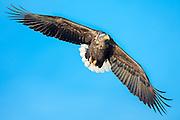 Eye contact with White-tailed eagle floating in the air   Øyekontakt med ørn som svever i luften.