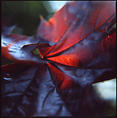 Maple Leaf | Colour