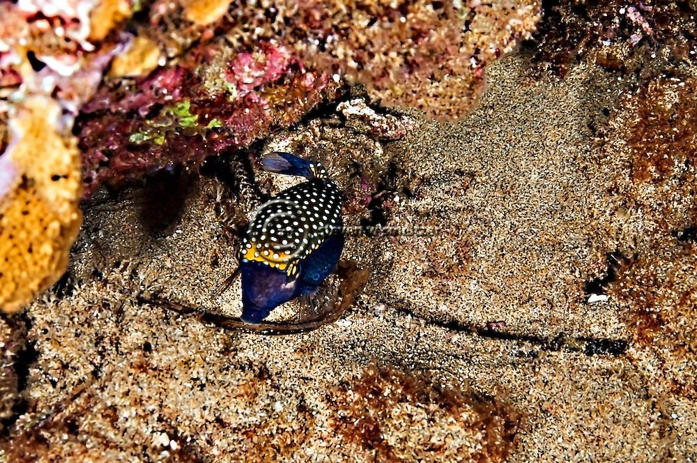 Spotted Boxfish Male, Ostracion meleagris camurum, night dive, Maui Hawaii