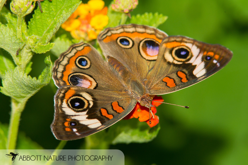 Common Buckeye (Junonia coenia)<br /> TEXAS: Brazos Co.<br /> Lick Creek Park, College Station<br /> 28-June-2014<br /> J.C. Abbott &amp; K.K. Abbott