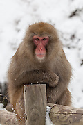 Snow monkey leaning on post