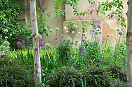 Allium hollandicum 'Purple Sensation' and Allium nigrum under silver birch trees, Lonicera nitida
