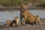 Lioness and cubs, part of a pride, at a waterhole, Serengeti National Park, Tanzania.