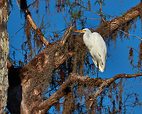Great Egret above the pond at Clyde Butcher's Gallery. Winter Nature in Florida Image taken with a Fuji X-T2 camera and 100-400 mm OIS telephoto zoom lens (ISO 200, 400 mm, f/7, 1/1500).