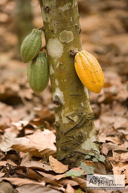 Cocoa pods at various levels of maturity hang from a tree on a farm in the town of Assin Adadientem, roughly 100km west of Ghana's capital Accra on Sat. January 21, 2007. The pods grow on the trunk of the tree - not its branches - and turn from green to yellow as they mature.