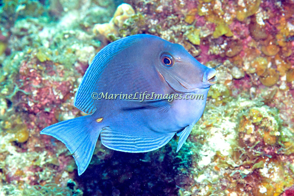 Blue Tang inhabit reefs in the Tropical West Atlantic; picture taken Little Cayman.