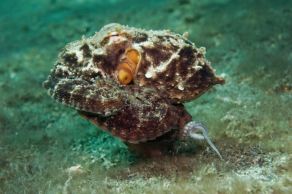 A Common Octopus, Octopus vulgaris, walks along the bottom of the Lake Worth Lagoon in Singer Island, Florida, United States.