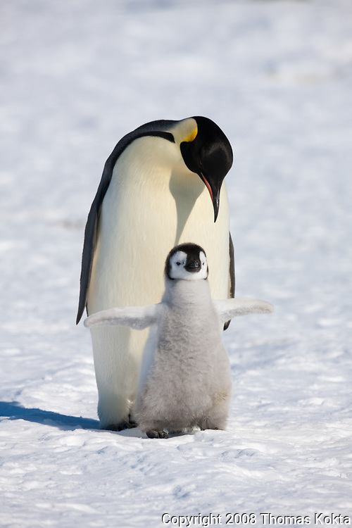 Emperor penguin chick standing in front of an adult with its wings spread.