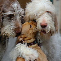 Italian Spinone and a Mutt