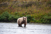 Young Brown Bear foraging for spawned out salmon along the Kanektok River...Shot in Alaska, USA