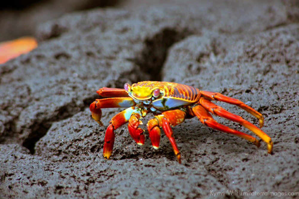 South America, Ecuador, Galapagos Islands. The colorful Sally Lightfoot Crab of the Galapagos Islands.