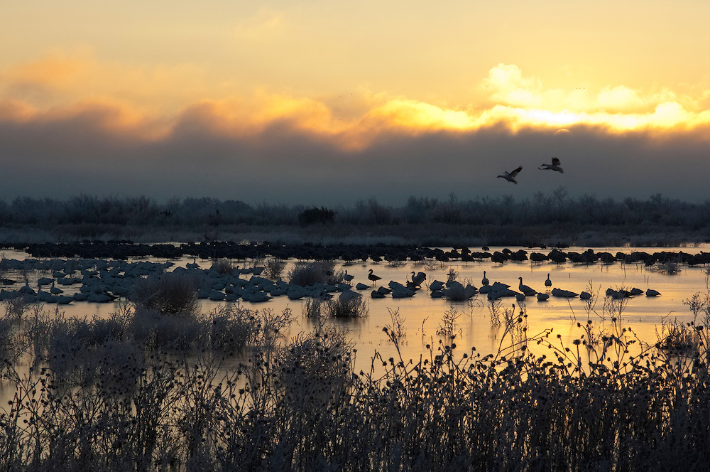 Snow Geese & Sandhill Cranes, Chen caerulescens, Grus canadensis, Bosque del Apache NWR, New Mexico