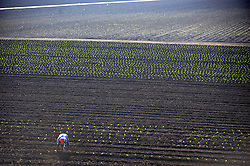 In the Wednesday morning sunshine, a solitary worker plants seedlings in the fields bounded by E. Laurel Avenue and Natividad Road in Salinas. Some leafy greens can stand the still cool evening temperatures.