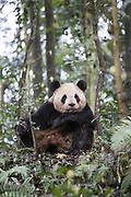 Giant Panda<br /> Ailuropoda melanoleuca<br /> Bifengxia Base of China Conservation and Research Center of Giant Panda, Ya'an, China<br /> *captive