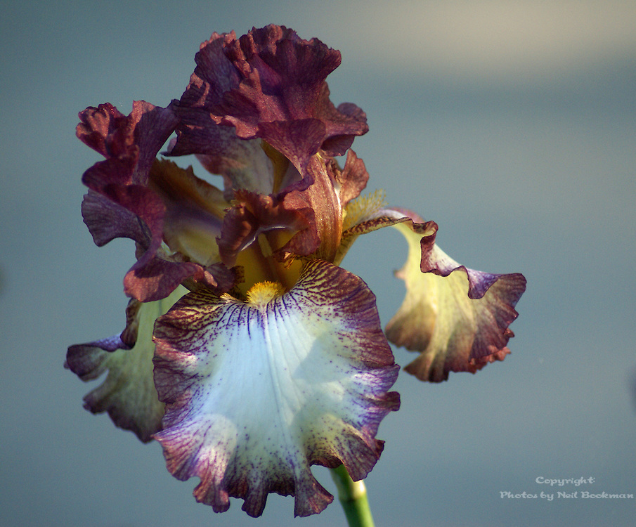 Bearded Iris in Morning Light