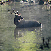 Male Sambar Deer (Rusa unicolor equinus AKA Cervus unicolor) taking refuge in a forest river in Khao Yai National Park, Thailand to escape predators.