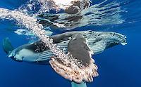 Humpback whale  (Megaptera novaeangliaea) Tahiti