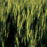A field of green wheat in close up