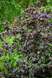Corylus avellana 'Red Majestic' syn. Corylus avellana 'Contorta Red Majestic' - Contorted Hazel